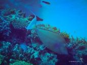Bluespine Unicornfish, first ever sighting