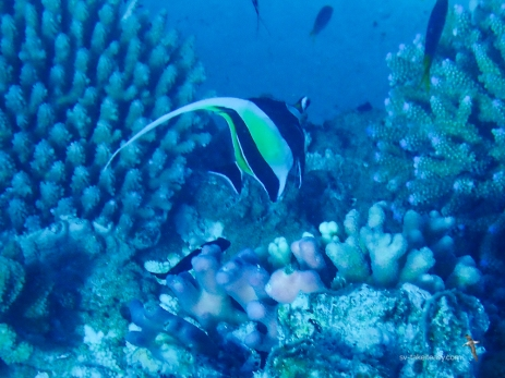 Moorish Idol, an elegant favourite