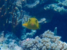 Yellow boxfish checking us out