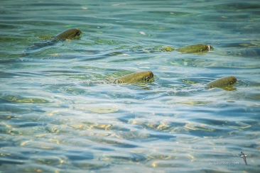 Meanwhile on the surface, some sort of mullets congregate in the shallows.