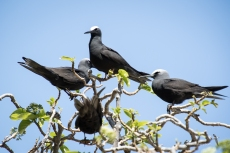 A group of Black Noddies