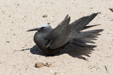 Noddies cross their wings and fan out their tail at rest