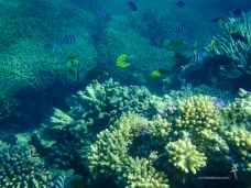 Multiple species of Butterflyfish in the coral