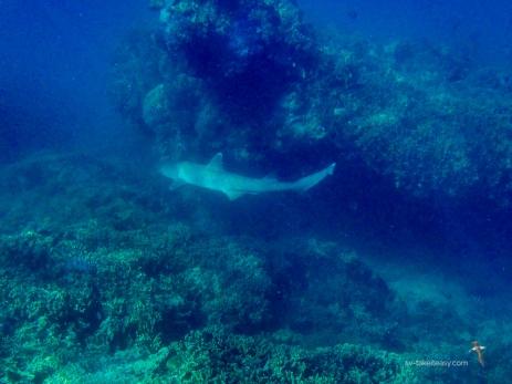 Wade's reef shark!