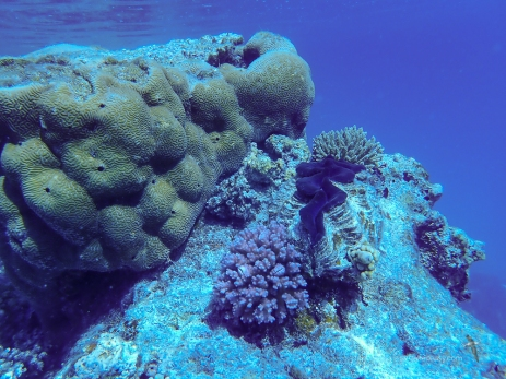 A mix of the braincoral and other hard corals