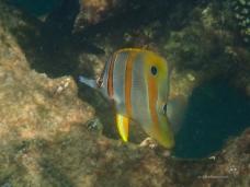 Beaked Coralfish