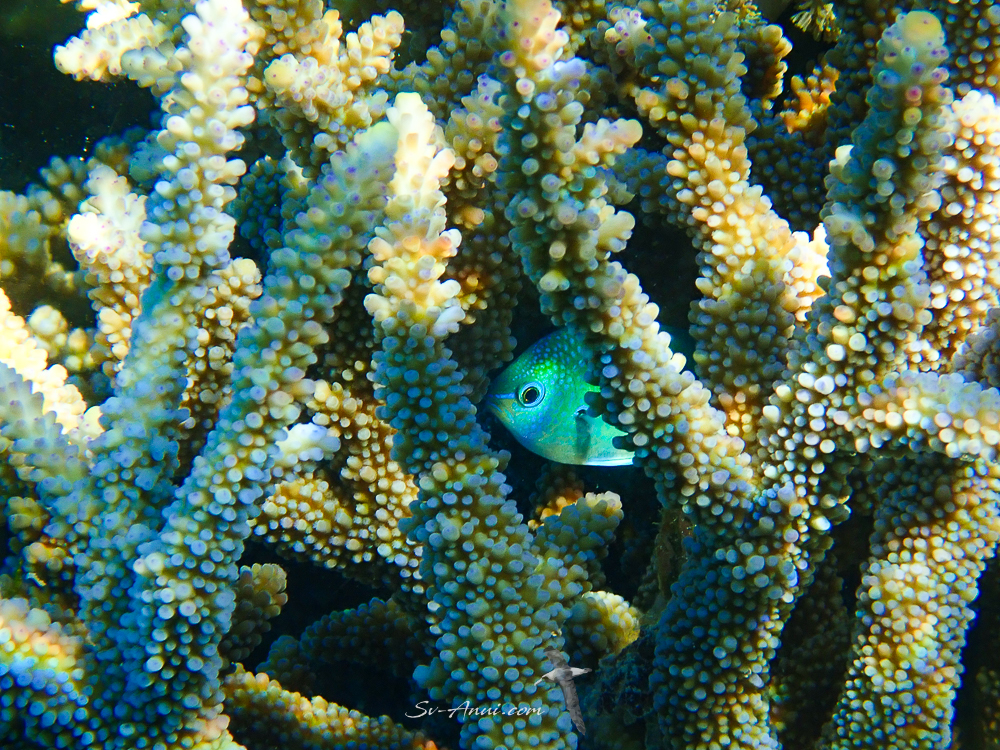 Blue Damsel playing hide and seek