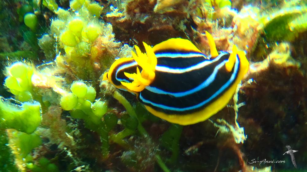 Nudibranch quadricolor