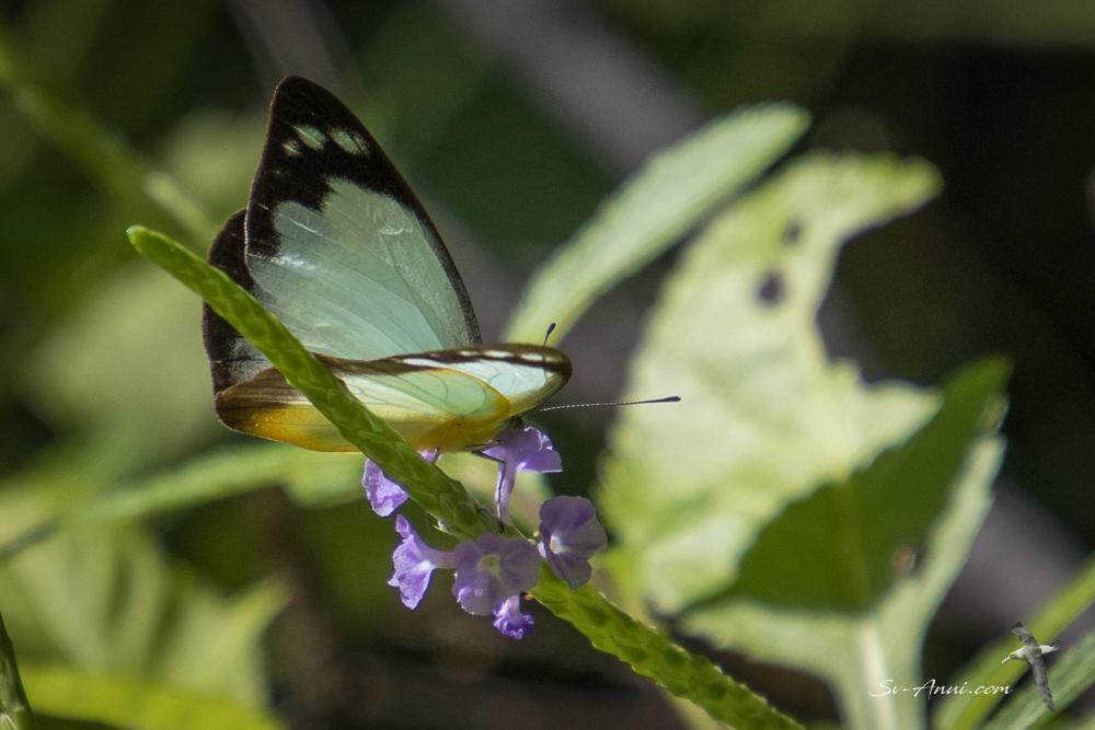 Australian Gull Butterfly