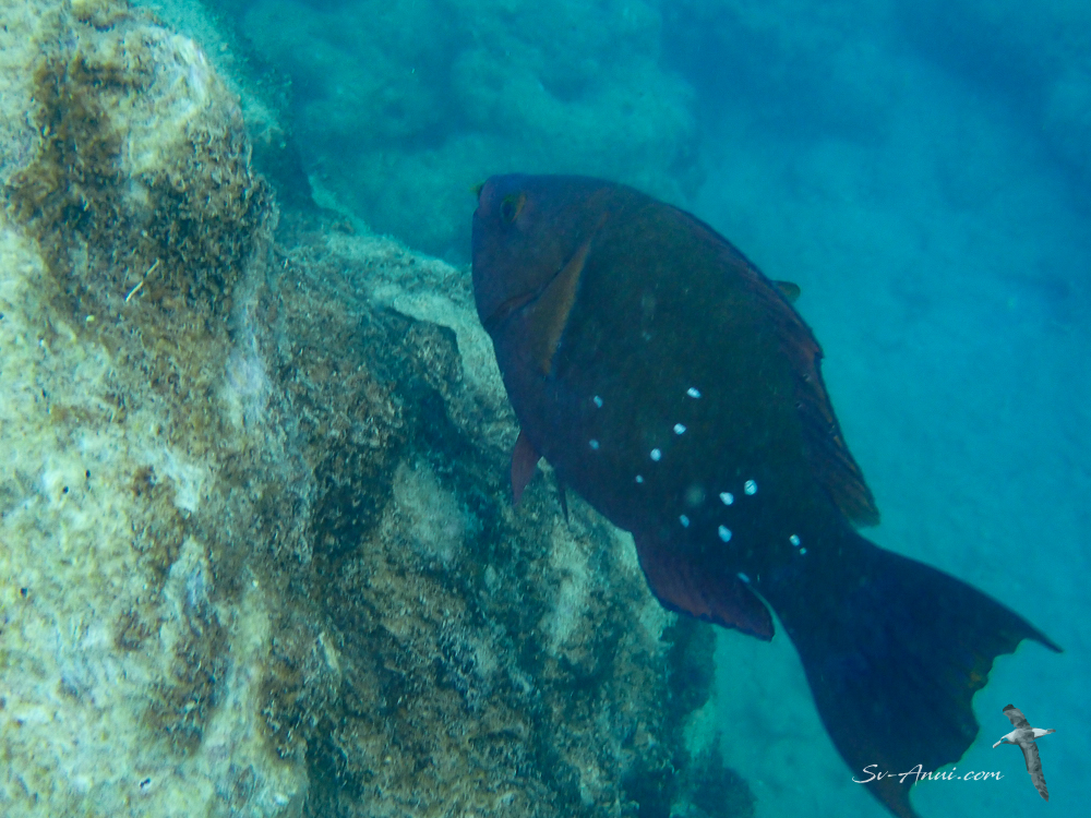 Greencheek Parrotfish