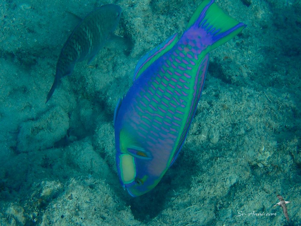 Bleekers Parrotfish