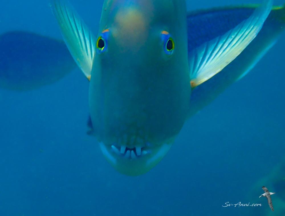 Blue Tuskfish