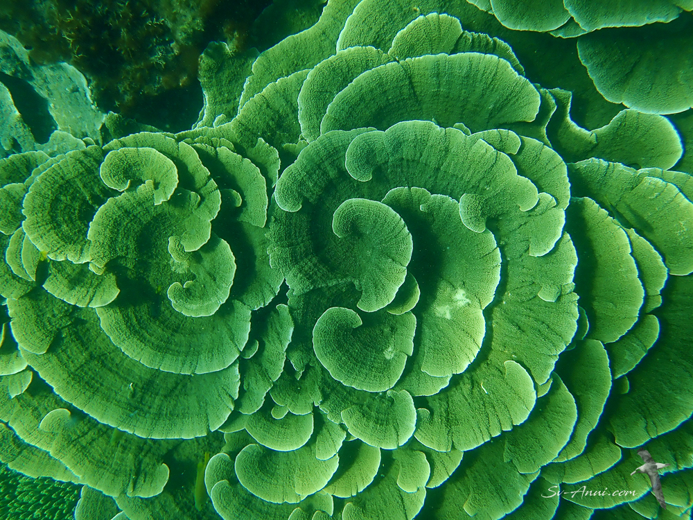 Leafy coral at Florence Bay