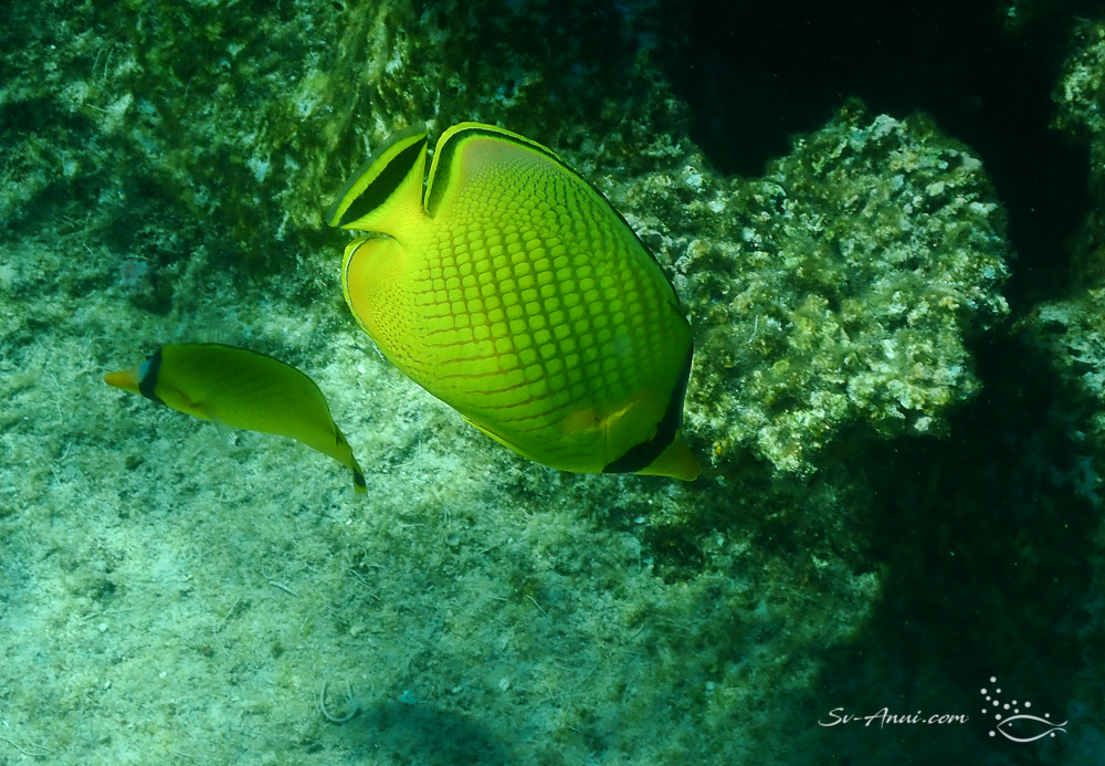Lattice Butterflyfish