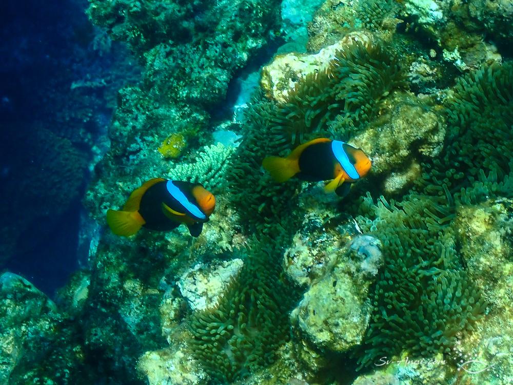 Australian Anemonefish