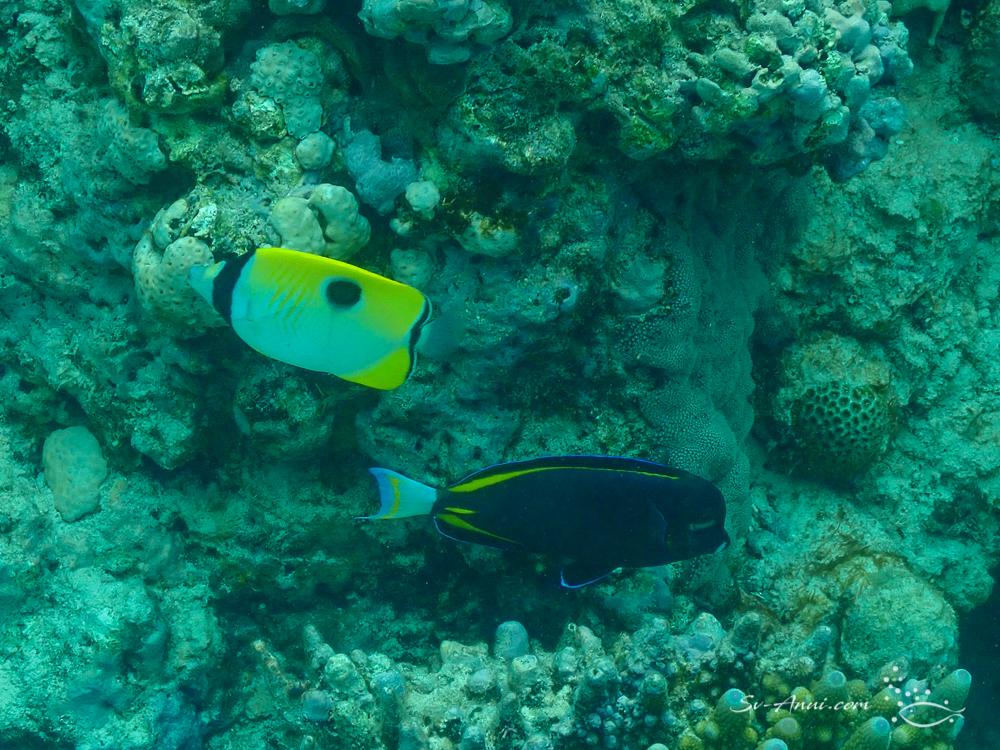 Teardrop Butterflyfish & Velvet Surgeonfish