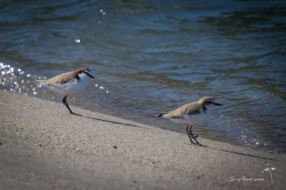 Red-capped Dotterel couple
