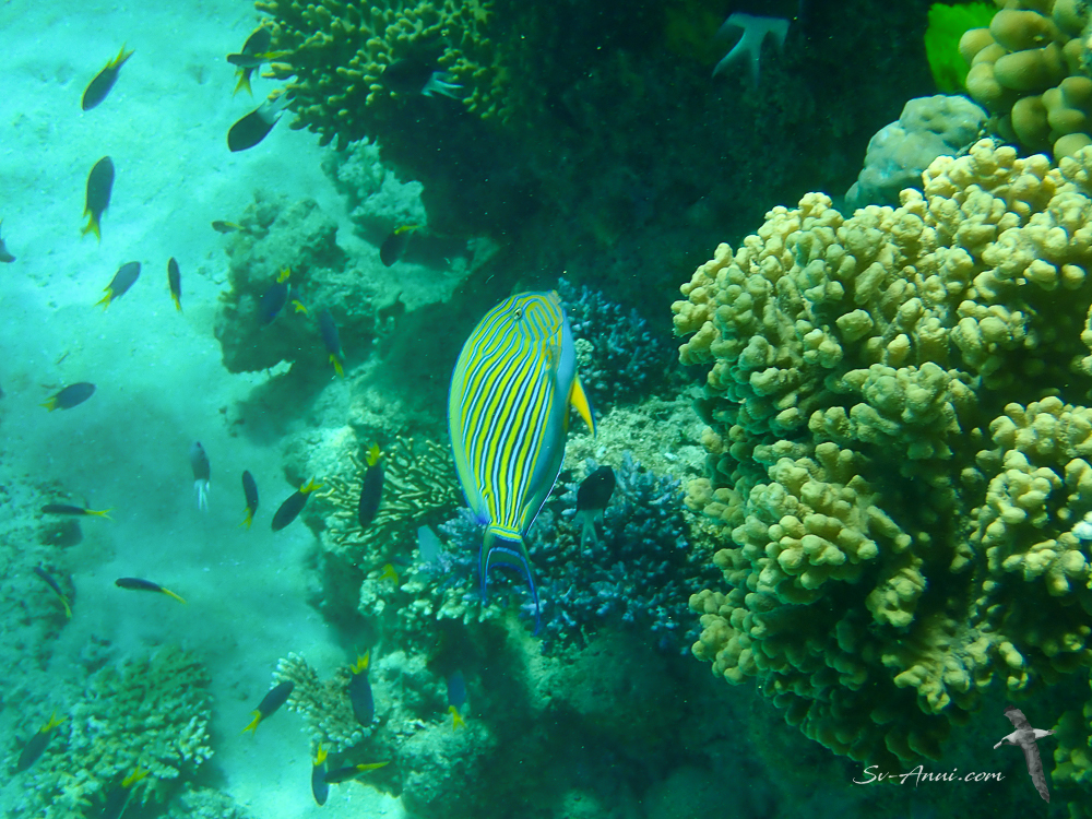 Bluelined Surgeonfish