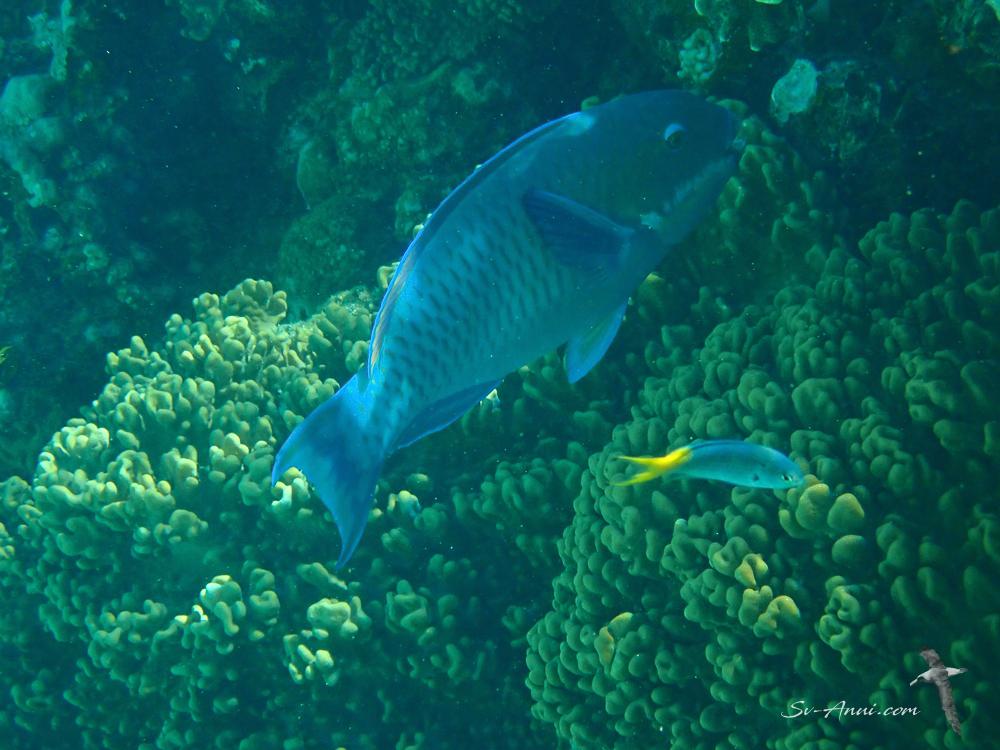 Steephead Parrotfish & Fusilier