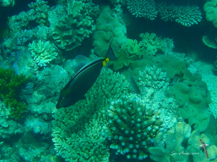Clown Surgeonfish