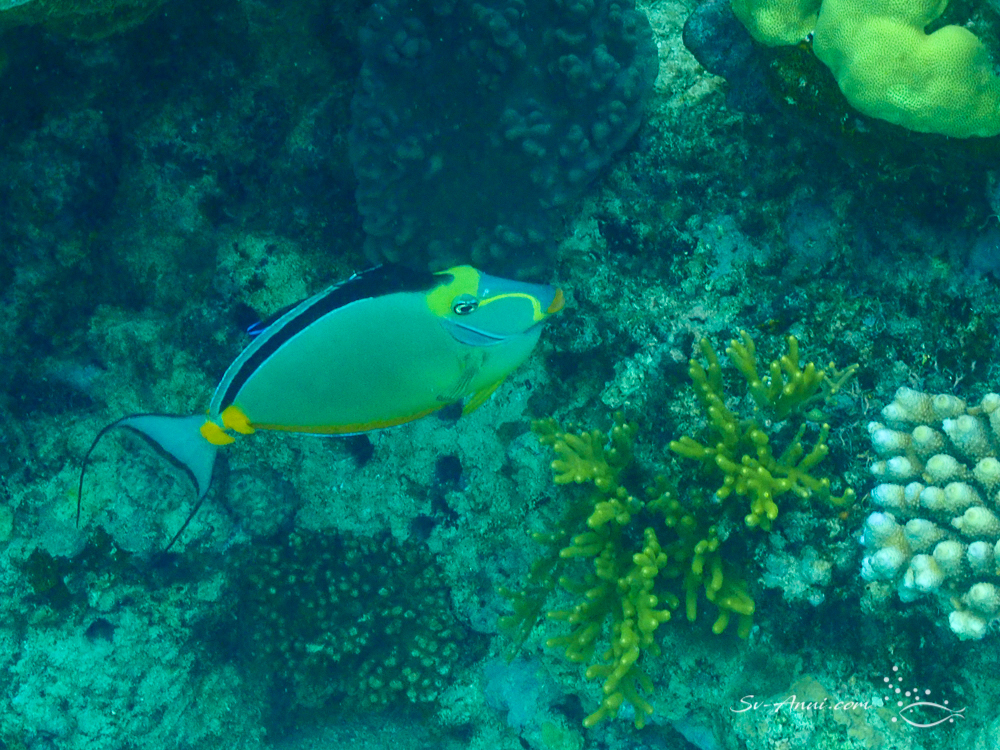 Clown Unicornfish