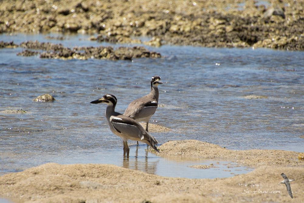 Beach Stone Curlews