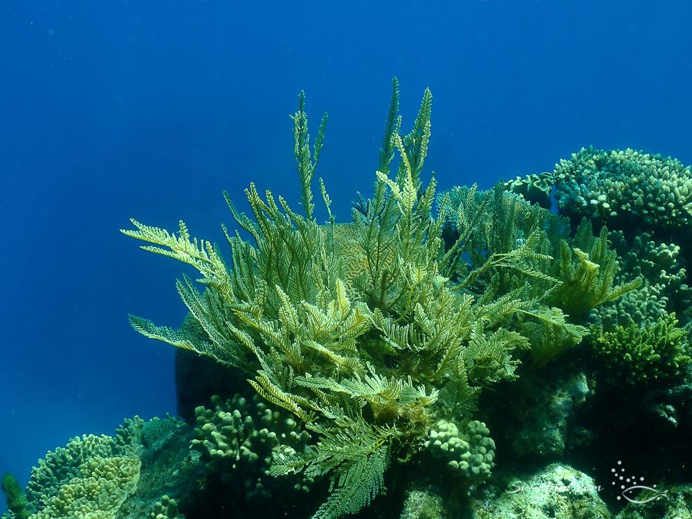 Plume Gorgonians