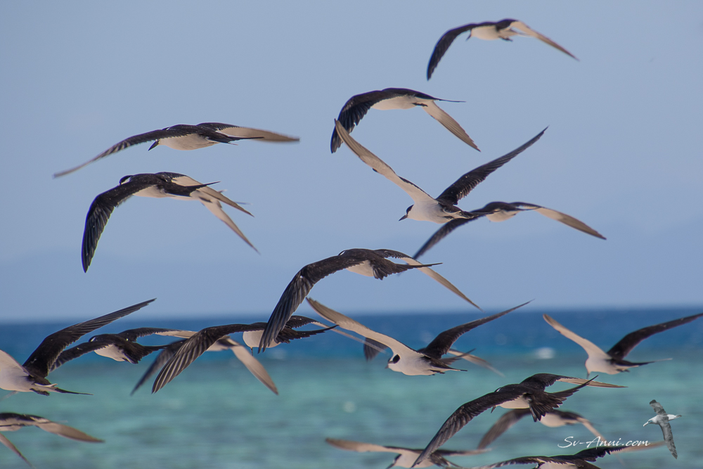 Sooty Terns at Michaelmas Cay