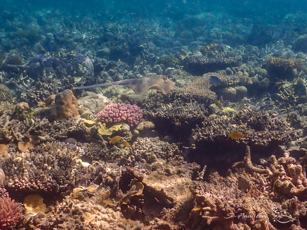 Stingray at Block Reef