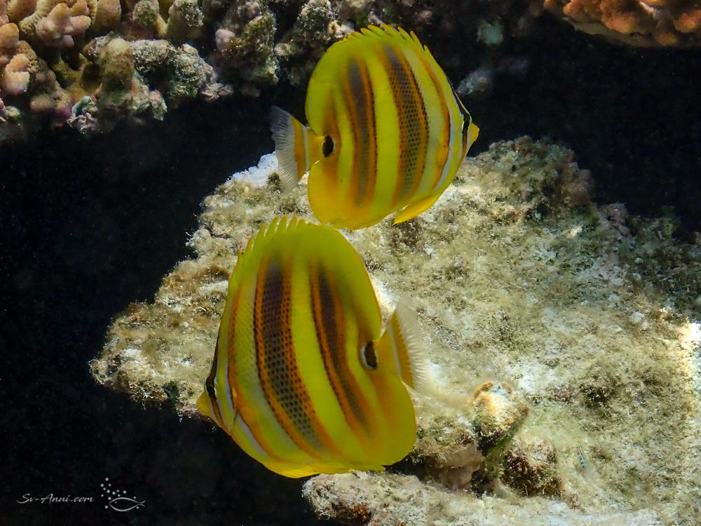 Rainford's Butterflyfish
