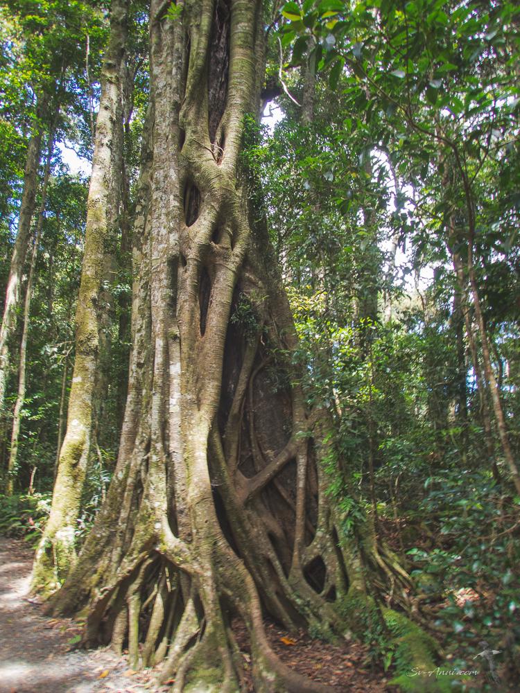 Binna Burra Trees