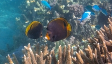 Dusky Butterflyfish and Blue Pullers
