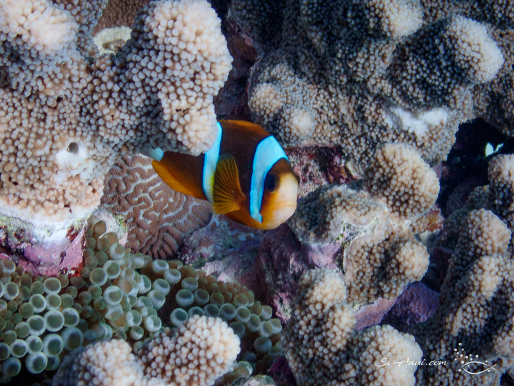 Orangefin Anemonefish