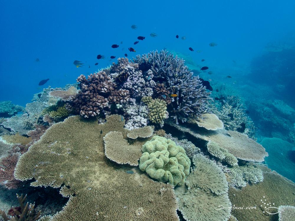 Coral at John Brewer Reef