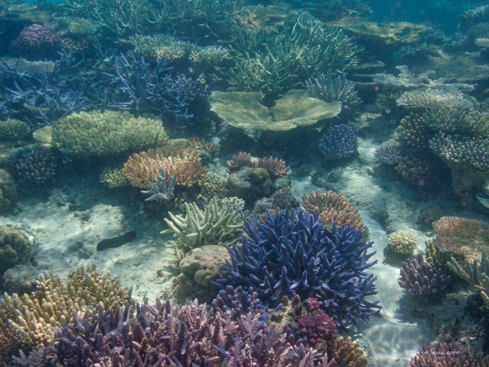 Lodestone Reef coral