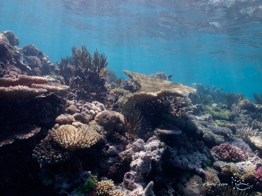 Dense coral cover at Little Bugatti