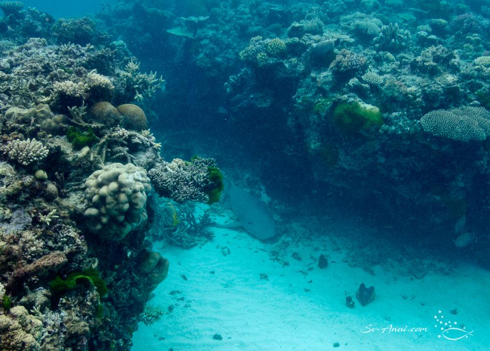 Carpet Shark at Wheeler Reef