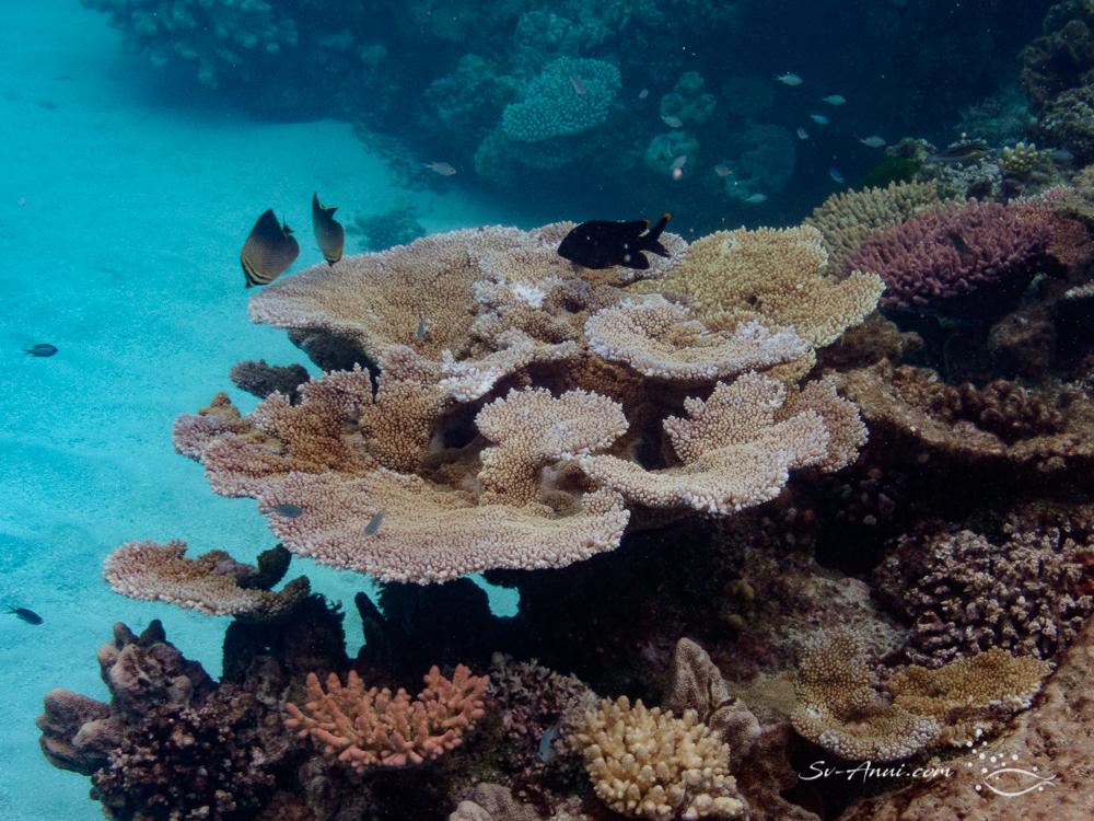 Wheeler Reef coral