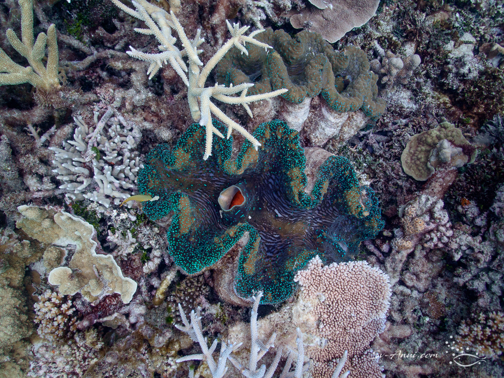 Giant clam at Wheeler Reef