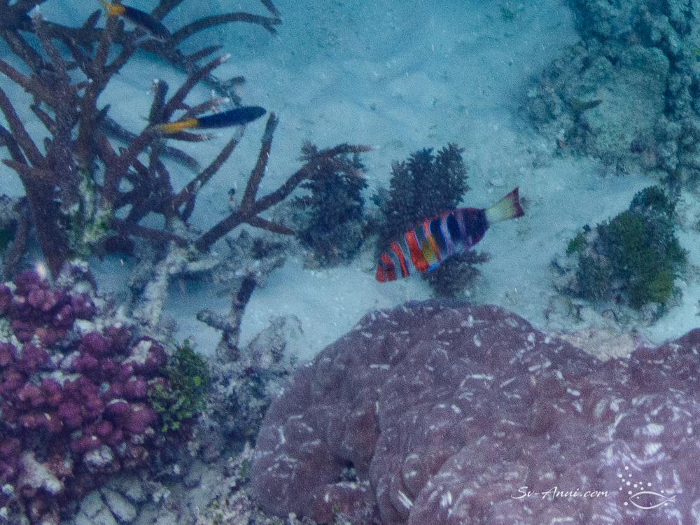 Harlequin Tuskfish at Wheeler Reef
