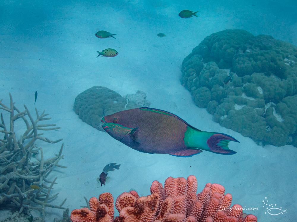 Parrotfish at Wheeler Reef