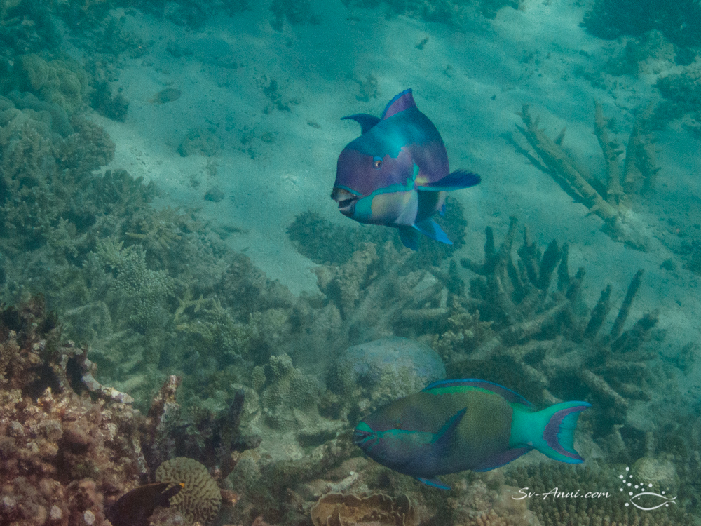 Steephead and Six Band Parrotfish