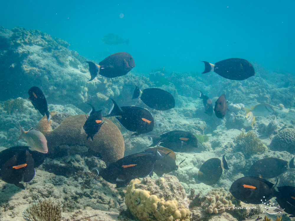Orange-blotch and Ringtail Surgeonfish