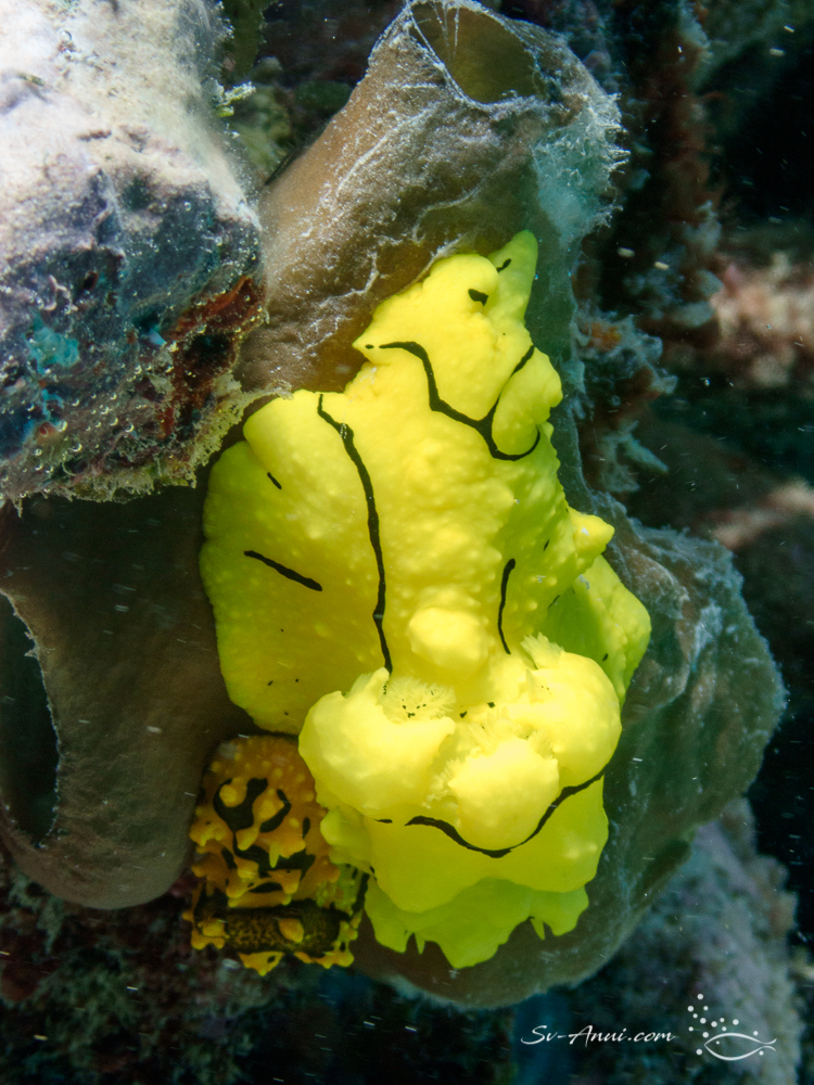 Nudibranch - Notodoris Minor