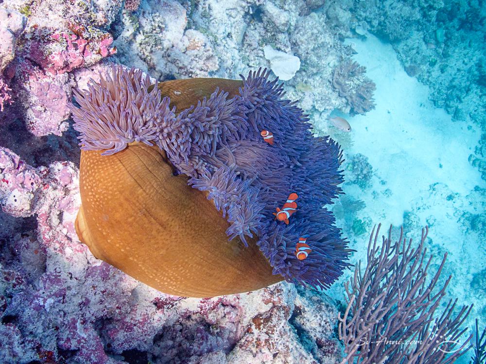 Eastern Clown Anemonefish