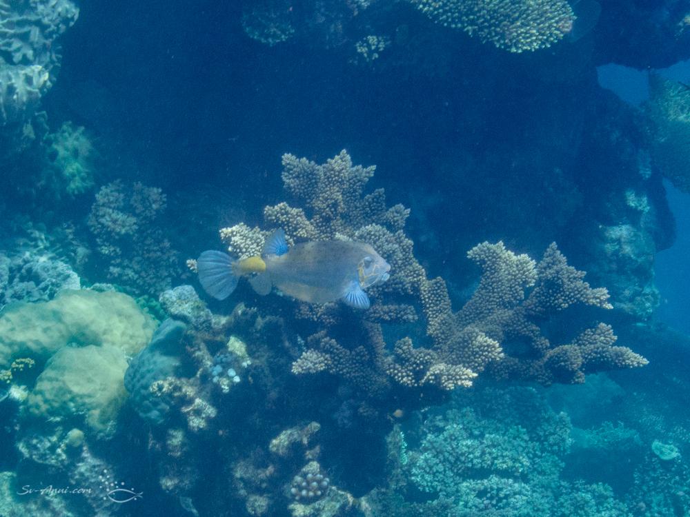 Adult Yellow Box Fish