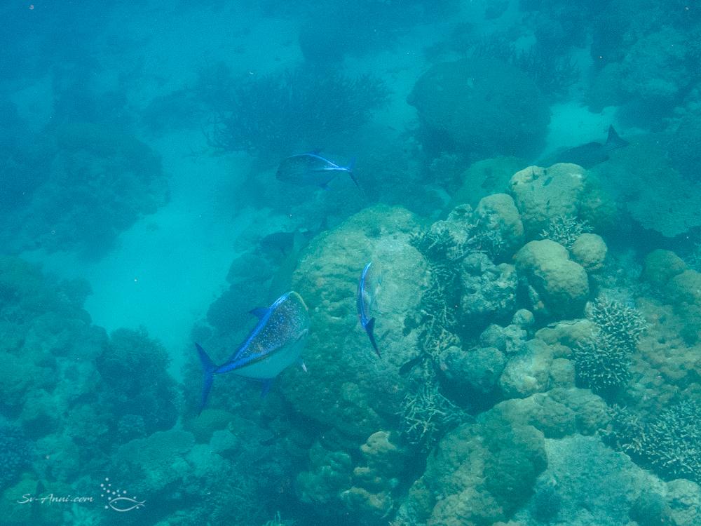 Bluefin Trevallies