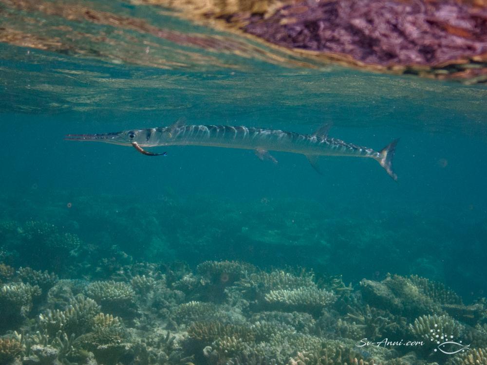 Reef Longtom
